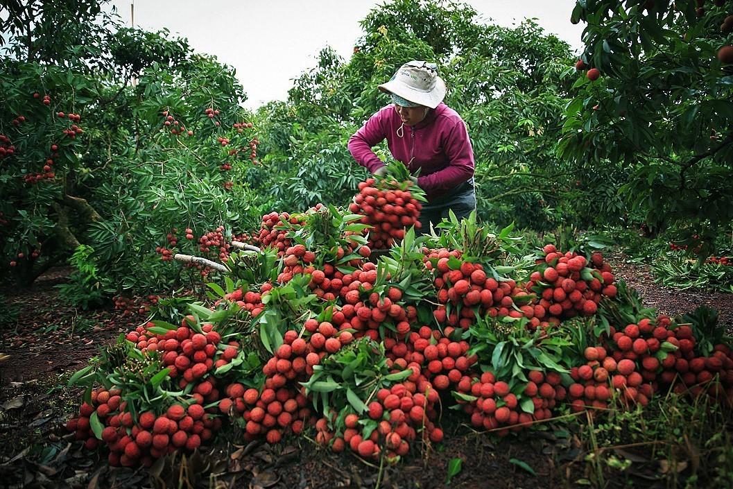 Pour pénétrer le marché européen, les produits agricoles vietnamiens doivent répondre aux normes d'hygiène et de sécurité alimentaire.