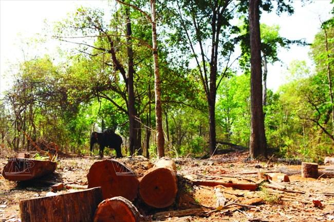 Hiện tượng phá rừng trái phép khiến nơi cư trú của voi ở tỉnh Đắk Lắk đang dần bị thu hẹp. (Nguồn: Báo ảnh Việt Nam/Vietnam+)
